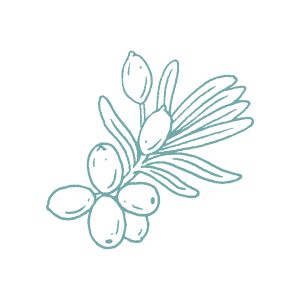 Illustration of Sea Buckthorn botanical