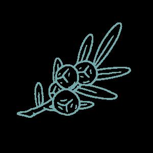 Illustration of Juniper botanical